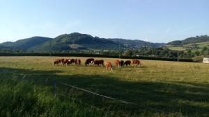 A krávy se vesele pasou